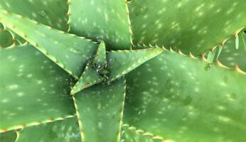 Pourquoi boire de l'Aloe Vera ?