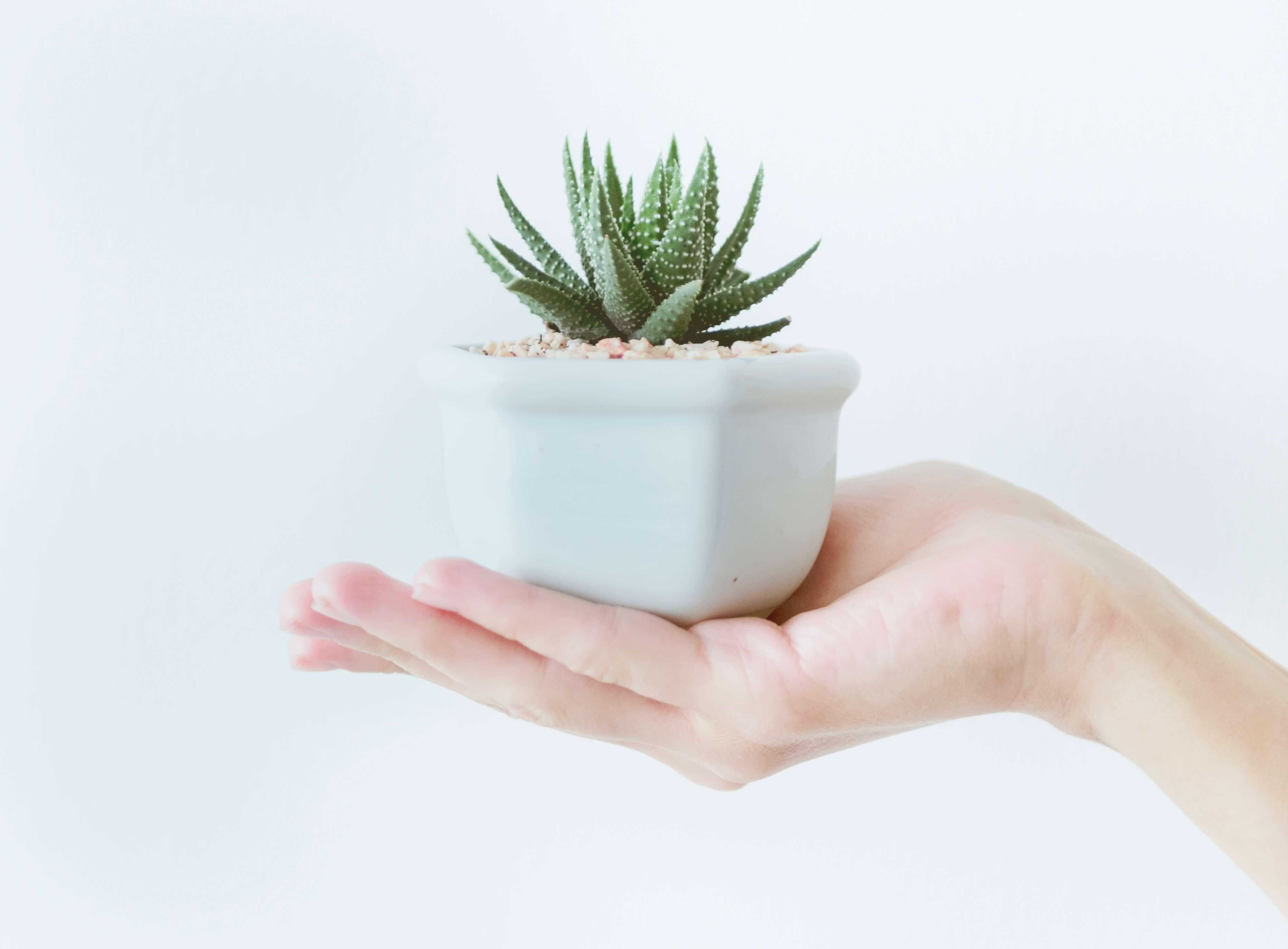 les bienfaits de l'aloe vera plante au creux d'une main